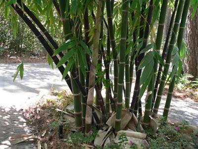 Manfaat dan Kandungan Umbi Bambu Tali Untuk Mengobati Kanker Payudara