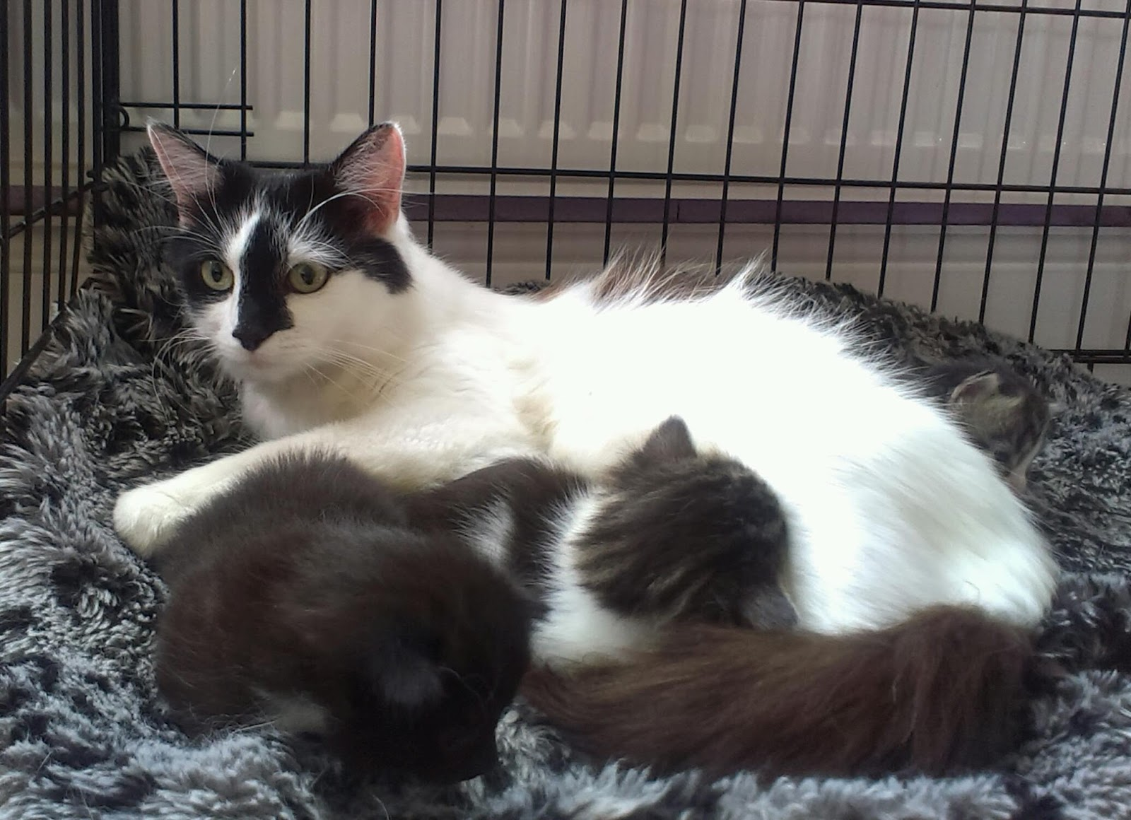 Black and white cat nursing kittens