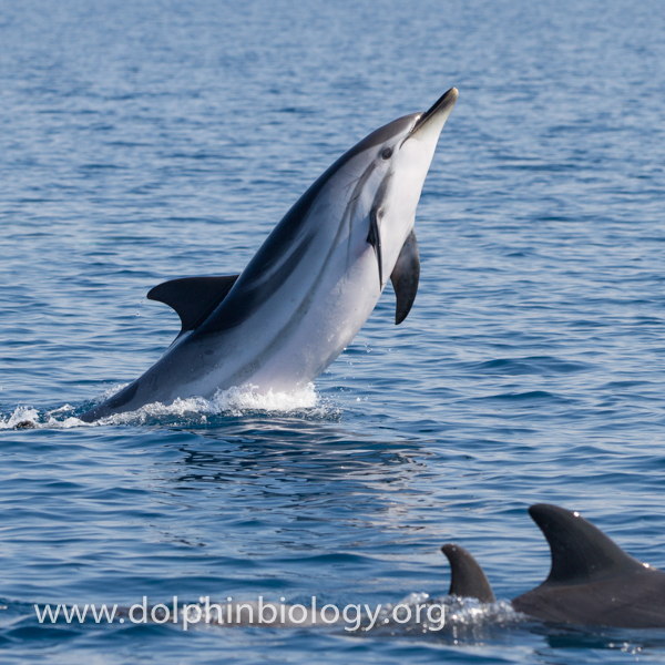 Dolphin Biology and Conservation: Striped dolphin behaviour