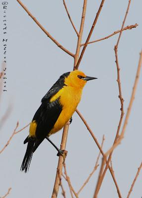 argentinian endangered birds tordo amarillo Xanthopsar flavus