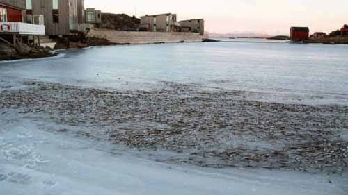 Herring Shoal is suddenly frozen in Norway