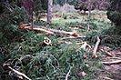 7 fotografías de un rayo, que destrozo un pino