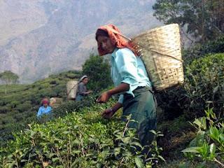 Pussimbing tea estate in Darjeeling