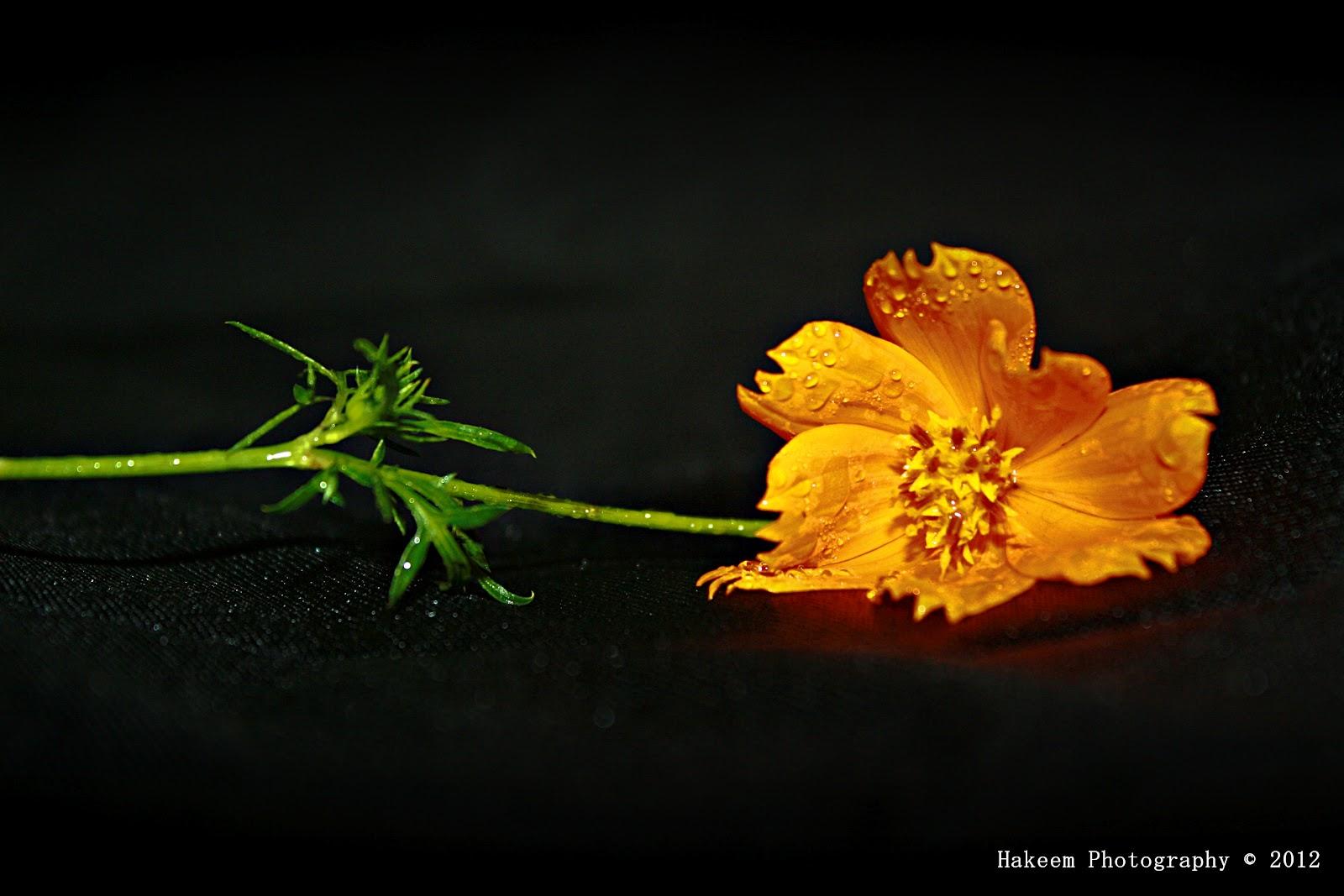 wild cosmos flower