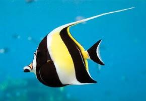 Top 15 most beautiful fishes explore amazing world for Moorish idol fish