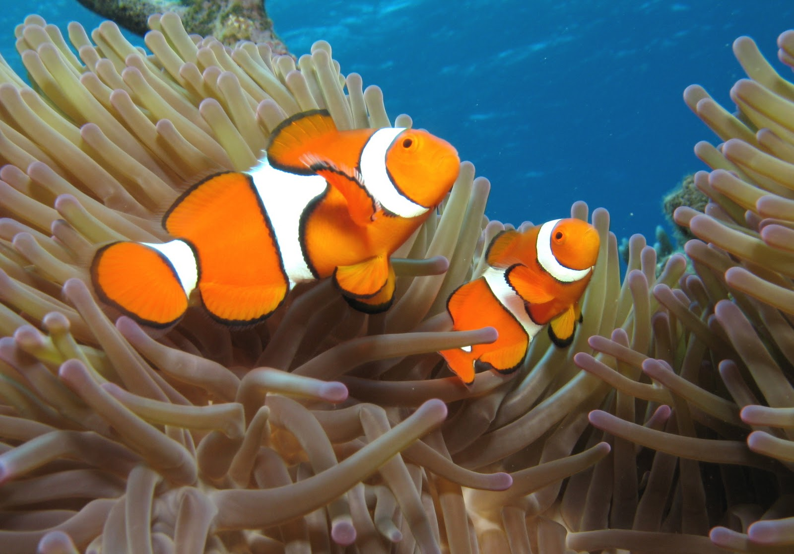 Bird flower and fish clown fish for Clown fish size