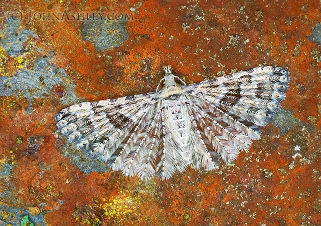 Montana Six-plumed Moth (Alucita montana) (c) John Ashley