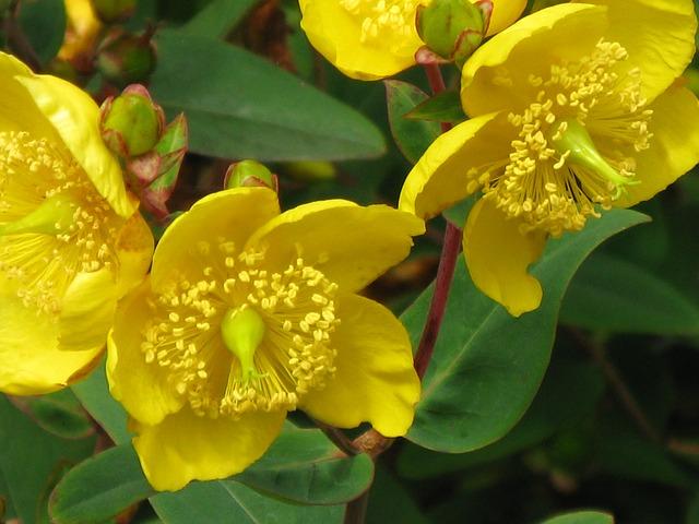 flor hipérico o hierba de San Juan