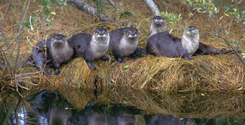 otter gathering