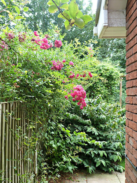 Rambling rose against side fence