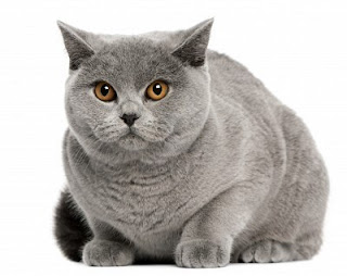 British Shorthair Cat Picture