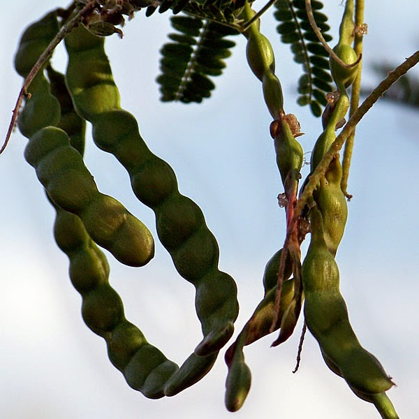 Edible bean pods of the mesquite tree