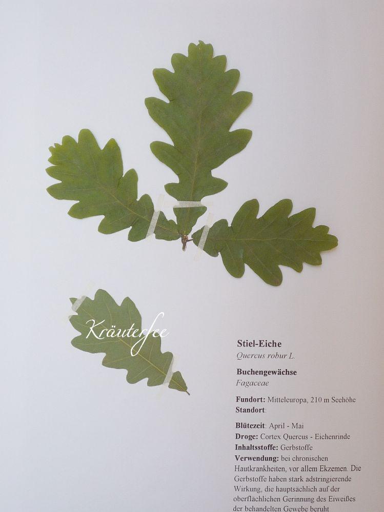 Herbarium Blätter kräuterfee herbarium vorlage stiel eiche quercus robur l