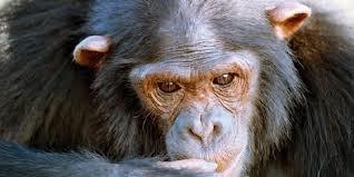 Inilah Simpanse Cerdas Dan Genius di Dunia