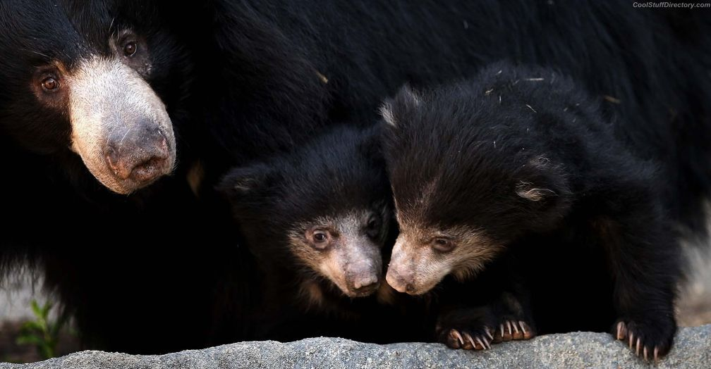 10-year-old Honey Bear and her two little bear in a Brookfield Zoo