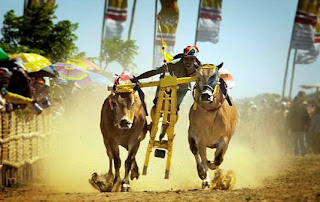 Karapan sapi cow racing