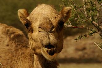 (10) Zu den Kamelen ...