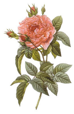 Rosa Gallica Regalis by Pierre Joseph Redoute