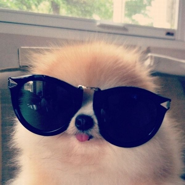 funny animal pictures, cute dog with glasses