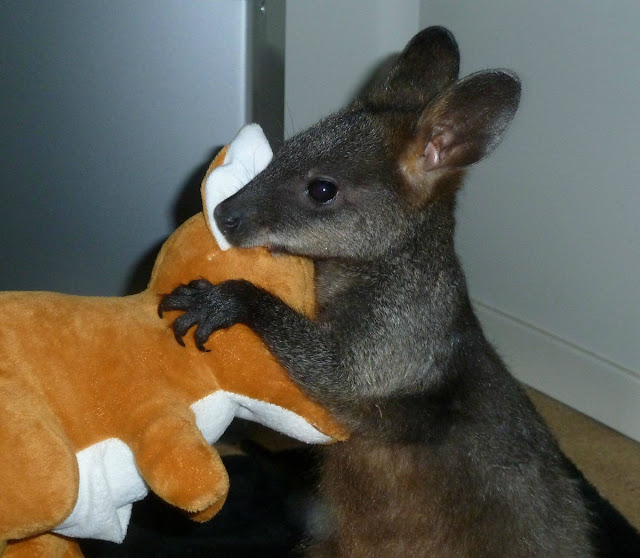 baby wallaby holding stuffed wallaby, funny animal pictures of the week