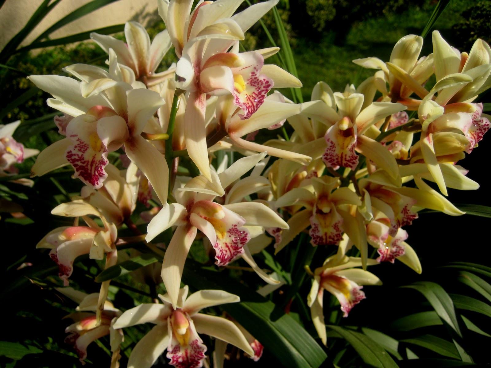 Sa m erg n b tk ler d nyasi ork de cymbid um for Orchidee da esterno