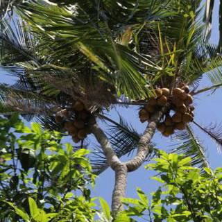 Pohon Kelapa Bercabang Ini Diyakini Ampuh Obati Penyakit