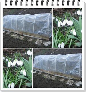 fólia vetemény hóvirág