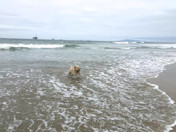 Labrador splashing waves Huntington Dog Beach