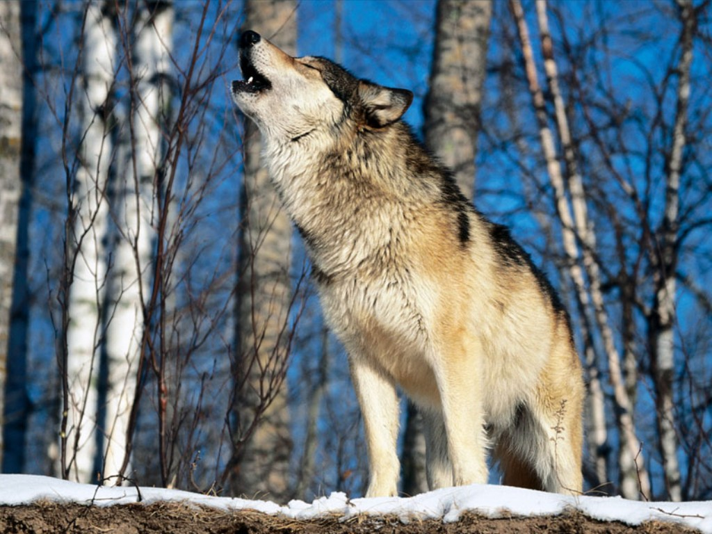 true wild life wolf the wolf is thought to be an ice age survivor