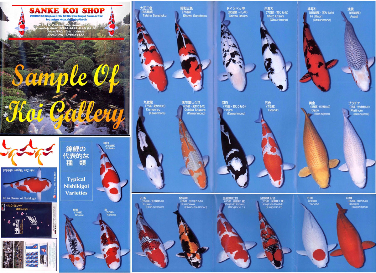 Ikan koi juara related keywords suggestions ikan koi for Koi fish color meaning chart
