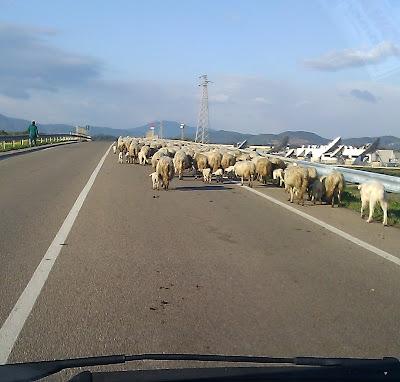 pecore 6 febbraio 2012 Andrea Mameli