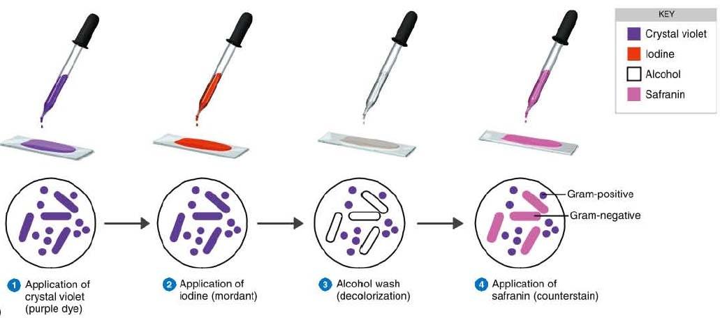 gram staining procedure mechanism explanation - Coloration Gram