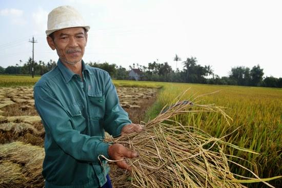 Nông dân điêu đứng vì lúa nhiễm rầy nâu