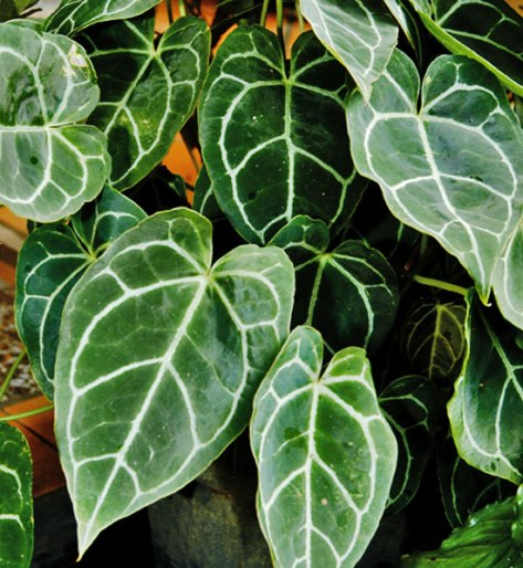 elephant ear plant species information. Black Bedroom Furniture Sets. Home Design Ideas