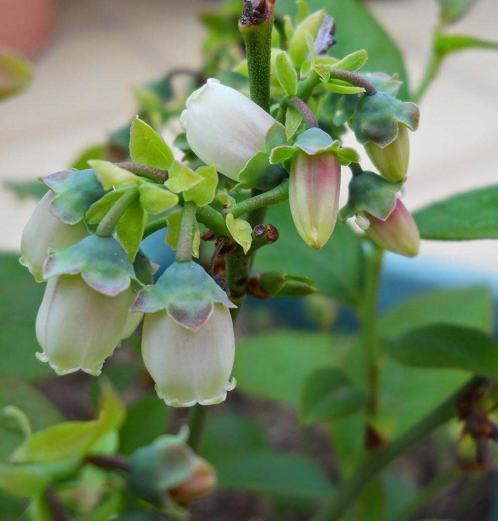 flores de arandano