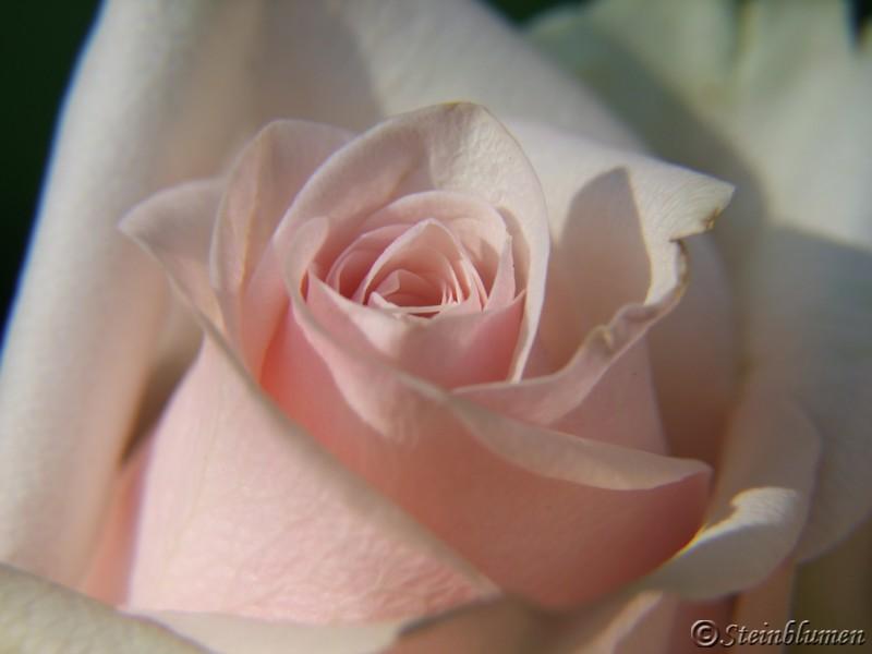 Rosen Tischdeko