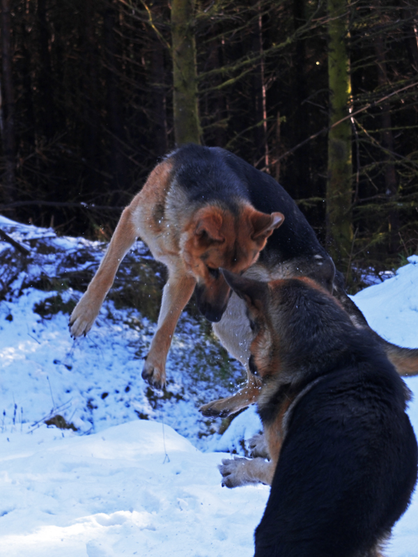 German Shepherds playing in the snow, one is in the air.