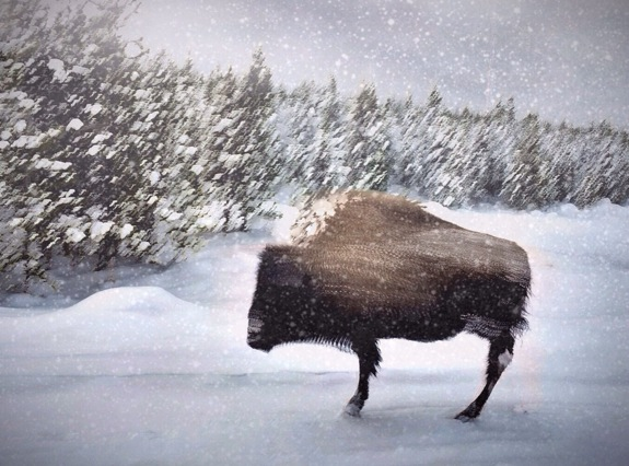 Snowstorm in Yellowstone © Sandra Nykerk