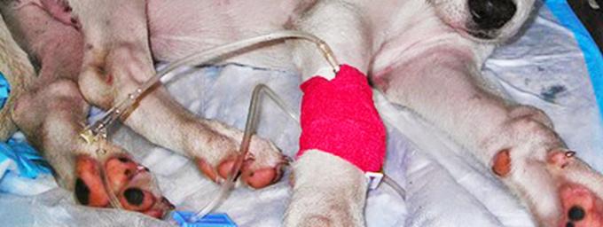 Prevención y tratamiento del parvovirus canino.