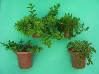 Cuidados del jardin lagrimas de bebe for Cuidados del jardin