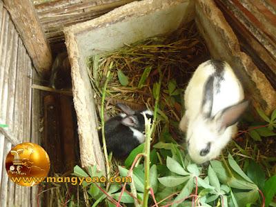 FOTO : Anak kelinci umur 1 bulan dan 3 bulan.