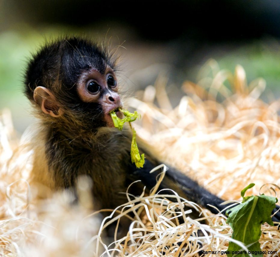 Really Cute Baby Monkeys | Amazing Wallpapers