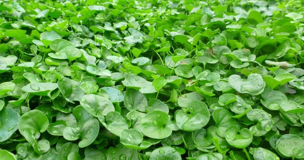 Progettare spazi verdi dichondra repens for Progettare spazi verdi
