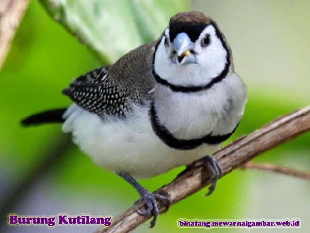 gambar binatang burung kutilang