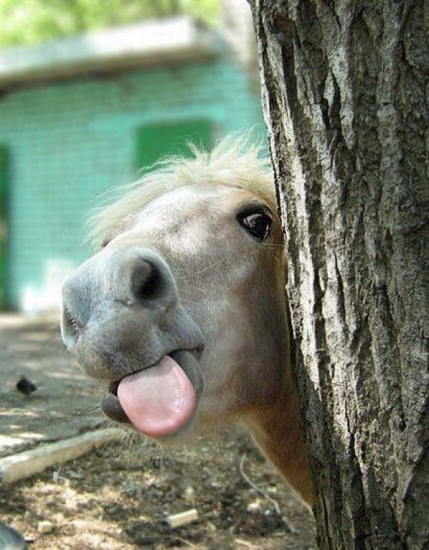 funny animal pictures, horse tongue