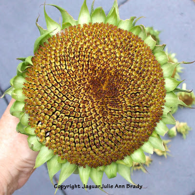 The First Head Cut : Largest Sunflower Head : Autumn Beauty