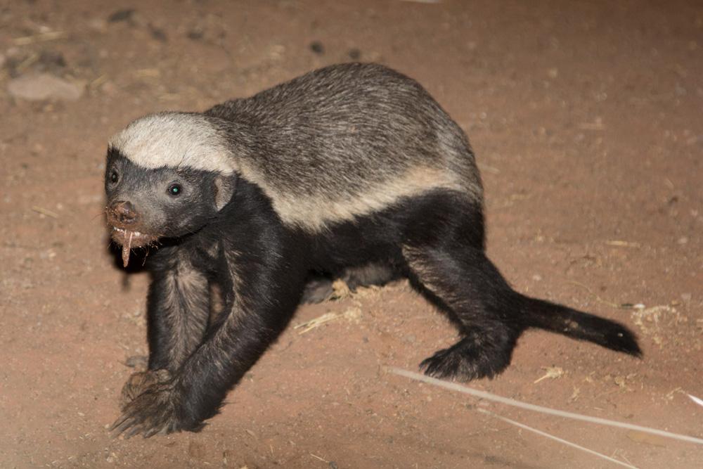 Honey Badger vs Mongoose Honey Badger Caught by The | 1000 x 667 jpeg 206kB