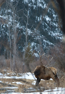 Big Colorado Bull