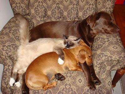 3 bichos amigos, 2 cães e um gato, 3 amigos dormindo, cães e gato dormindo, animais dormindo, cat and dog sleeping, catito dormindo, perro, cat, dog