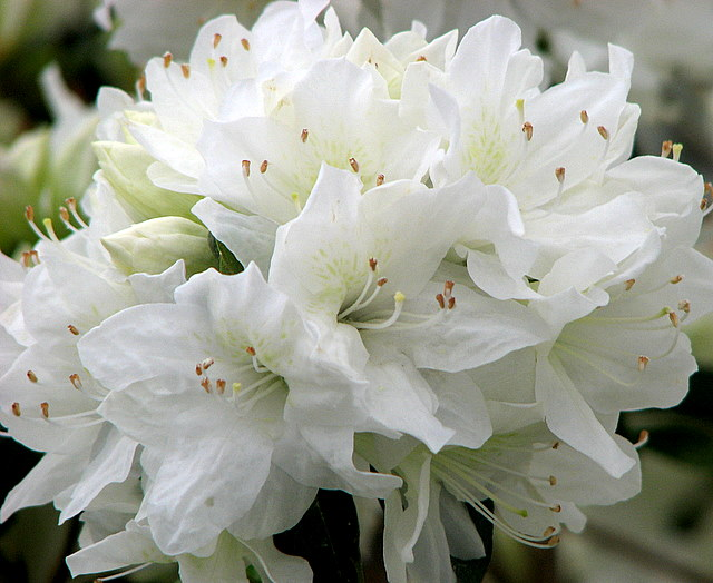White flowers flowers world white flowers mightylinksfo